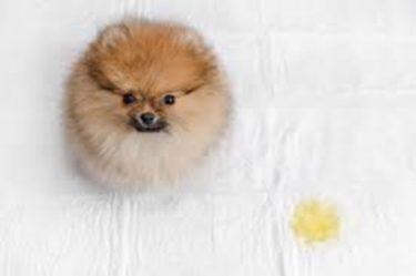 ペットシーツにおしっこをしたトイレトレーニング中の子犬